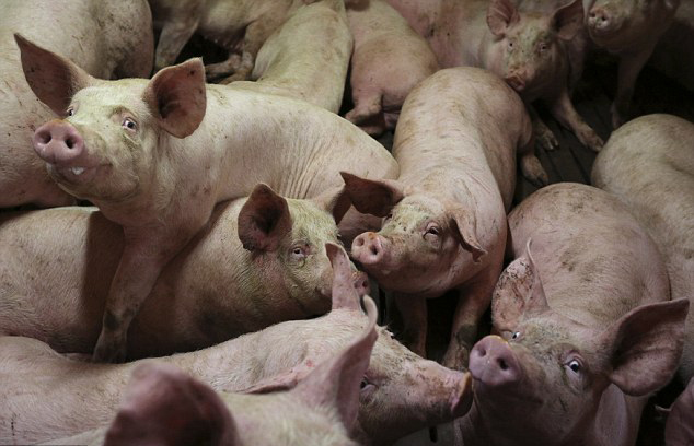 Pigs_