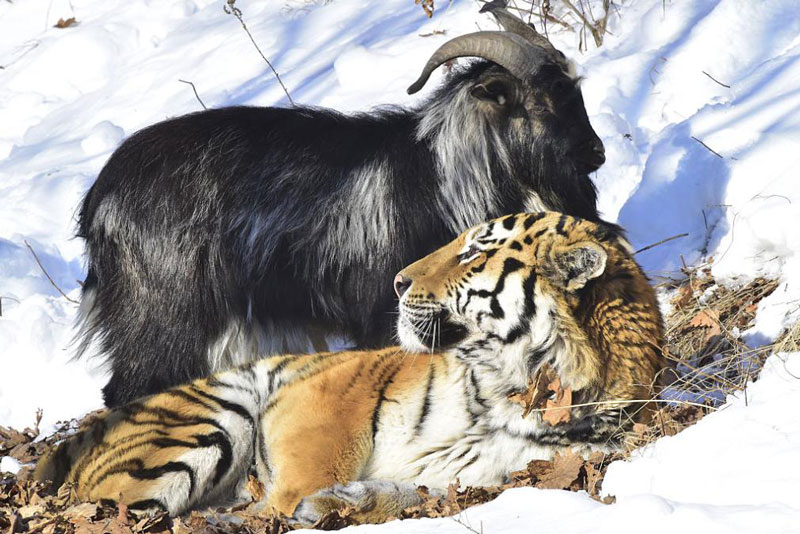 tiger-goat-russia